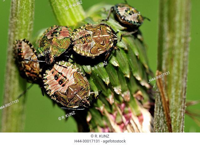 Sloebug, Dolycoris baccarum, Pentatomidae, imago, Shield bug, bug, insect, animal, Andeer, Canton of Grïsons, Switzerland