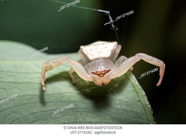 Crab spider. Image taken at Kampung Skudup, Sarawak, Malaysia