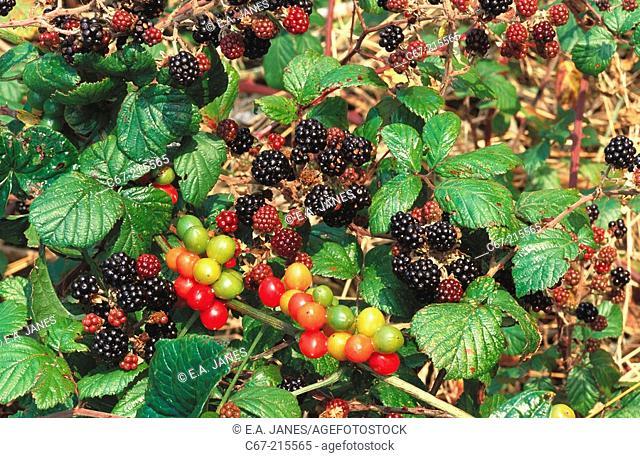 Black Bryony (Tamus communis) and Blackberries (Rubus fruticosus)