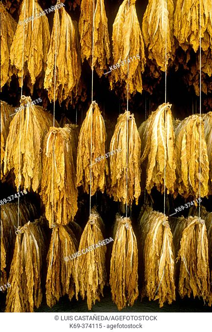 Drying tobacco leaves. Extremadura. Spain