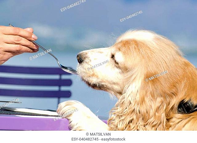 Cocker spaniel dog eating from a spoon