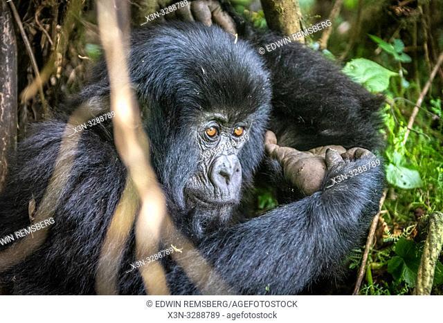 Mountain Gorilla (Gorilla beringei beringei) of the Muhoza group , in Volcanoes National Park, Virunga mountain range , Rwanda