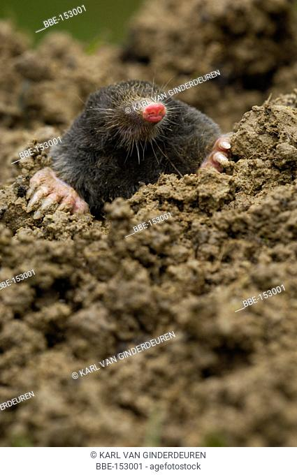 Moles are vital in a well functioning soil ecosystem They bring lots of oxygen in the soil, which benefits all other species And aren't they cute?
