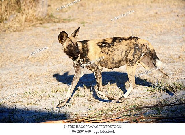 Pregnant female African wild dog (Lycaon pictus) walking. Moremi National Park, Okavango delta, Botswana, Southern Africa