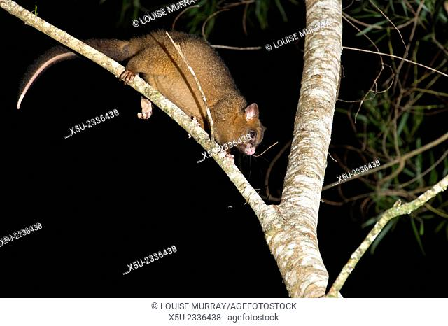 Coppery brushtail possum, (Trichosurus vulpecula johnstonii) an arboreal nocturnal rainforest possum endemic to the Atherton Tablelands area of Queensland