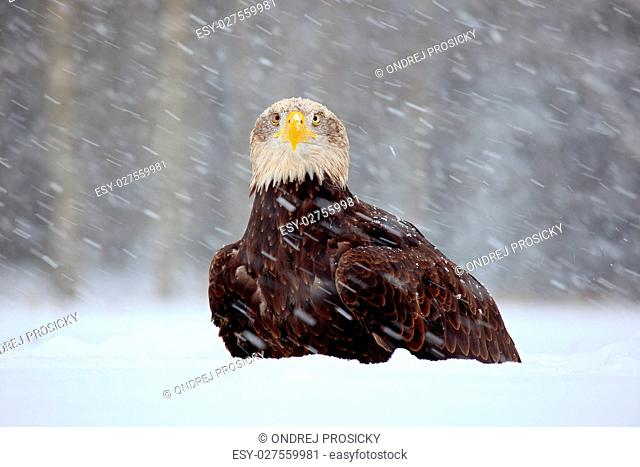 Snow storm with bald eagle