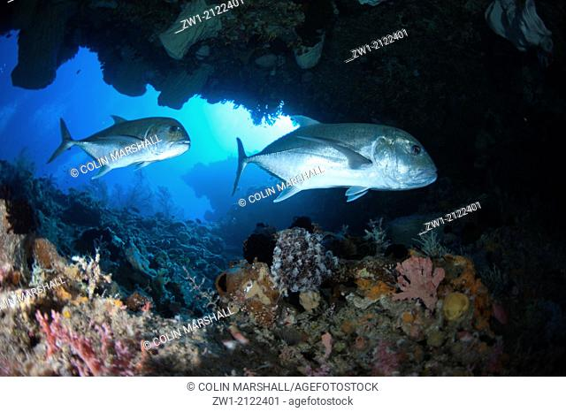Pair of Giant Trevally (Caranx ignobilis) in cave at Beacon Slope dive site off Nyata Island near Alor in eastern Indonesia