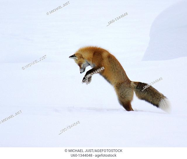 A red fox dives under the snow to catch its prey in a technique called 'mousing' at Yellowstone National Park