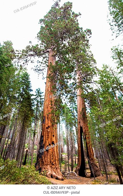 Low angle view of giant redwood trees, Yosemite national park, California, USA