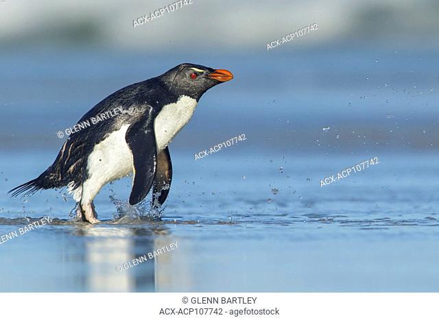 Rockhopper Penguin (Eudyptes chrysocome) emerging from the ocean in the Falkland Islands