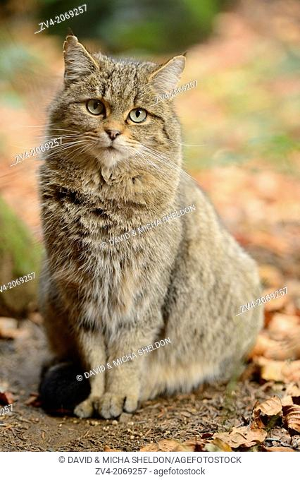 Close-up of a European wildcat (Felis silvestris silvestris) in autumn in the bavarian forest