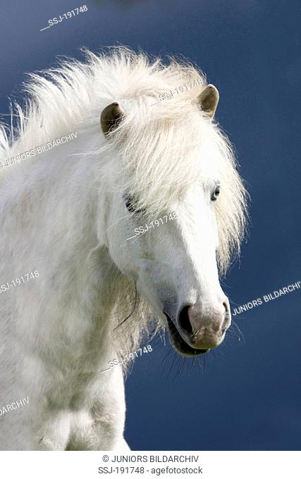 Icelandic Horse. Portrait of gray mare, seen against a dark sky