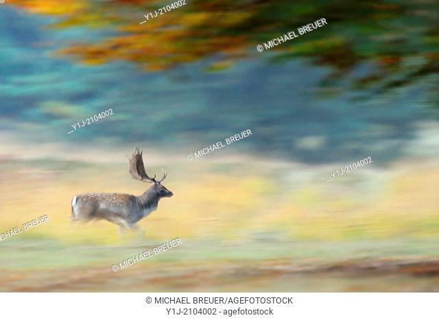 Running Fallow Deer, Cervus dama, Hesse, Germany, Europe