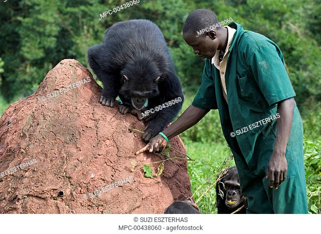Chimpanzee (Pan troglodytes) being shown how to use twig to extract honey out of a hole by caretaker Rodney Lemata, Ngamba Island Chimpanzee Sanctuary, Uganda