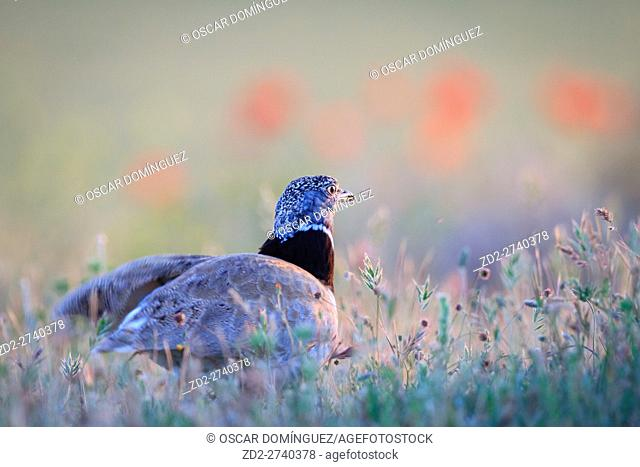 Little Bustard (Tetrax tetrax) male on habitat. Lleida province. Catalonia. Spain
