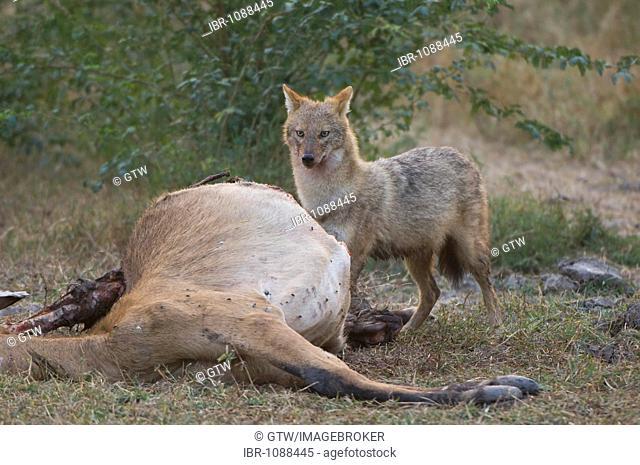 Indian Jackal or Golden Jackal (Canis aureus) with a dead antilope, Bharatpur, Rajasthan, India
