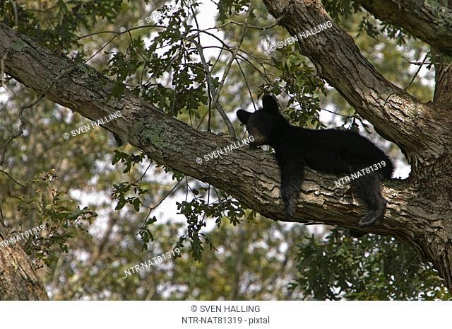 American Black Bear climbing a tree, USA