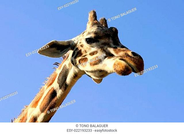 Giraffe portrait, head and neck over blue sky
