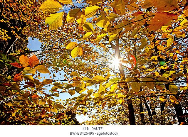 common beech (Fagus sylvatica), sun behind a beech in autumn, Germany, Baden-Wuerttemberg
