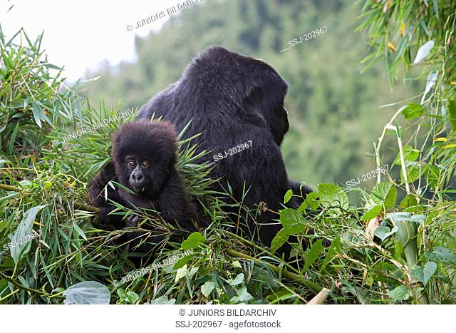 Mountain Gorilla (Gorilla beringei beringei). Mother and infant in vegetation. Volcanoes National Park, Rwanda
