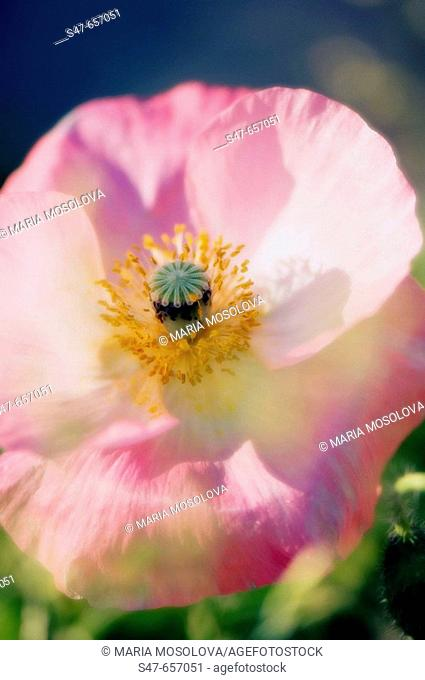 Pink Shirley Poppy. Papaver rhoeas. May 2007, Maryland, USA