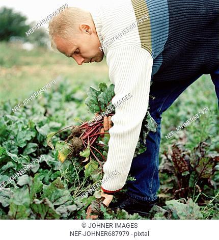 A man picking beetroots, Skane, Sweden