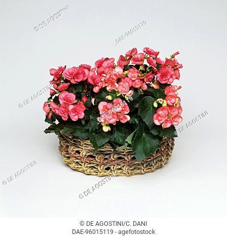 Elatior begonia (Begonia elatior or Begonia hiemalis), Begoniaceae