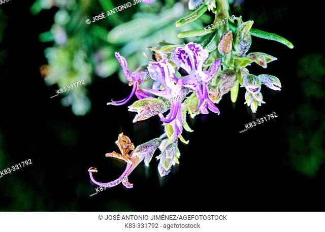 Rosemay (Rosmarinus officinalis) flowers