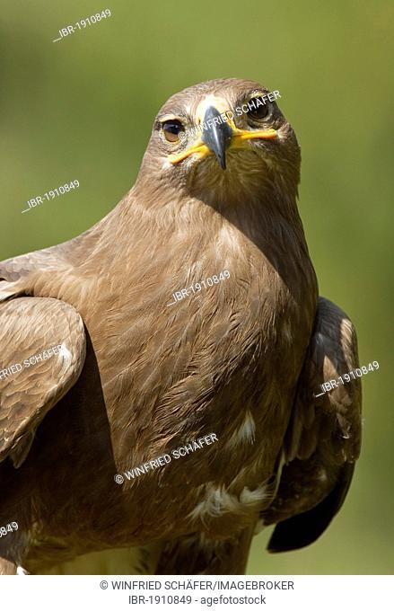 Steppe Eagle (Aquila nipalensis), portrait