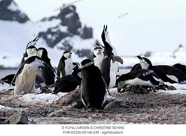 Chinstrap Penguin (Pygoscelis antarctica) adults, displaying in nesting colony, Brown Bluff, Antarctic Peninsula, Antarctica, December