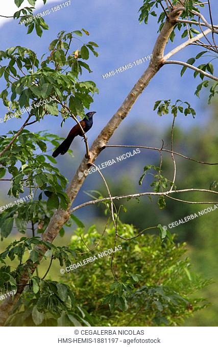Indonesia, Sumatra Island, Aceh province, Coucal (Centropus sp.)