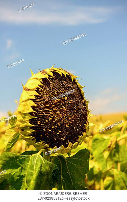 matures sunflower