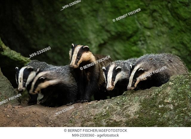 Badger (Meles meles), family with cubs, Bavaria, Germany