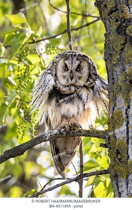 Long-eared Owl (Asio otus) sitting in tree, Lake Neusiedl, Burgenland, Austria