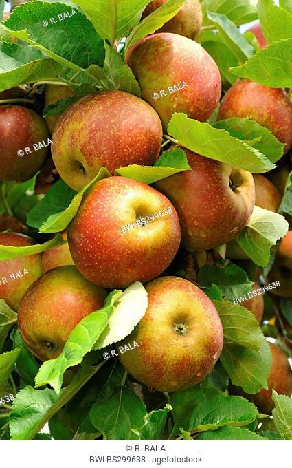 apple tree (Malus domestica 'Roter Boskoop', Malus domestica Roter Boskoop), aplles on a tree, cultivar Roter Boskoop, Germany