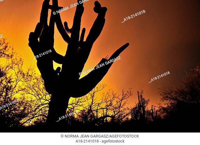 Saguaro cactus (Carnegiea gigantea) seen at sunset grow along Bear Canyon Trail, Coronado National Forest, in the Sonoran Desert,Tucson, Arizona, USA