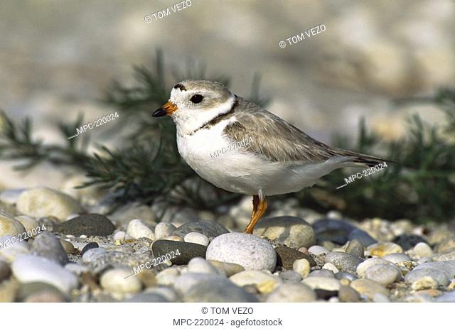 Piping Plover Charadrius melodus, portrait, Long Island, New York