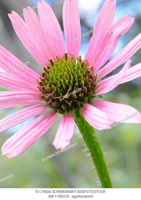 Tennessee Coneflower detail  Echinacea tennesseensis