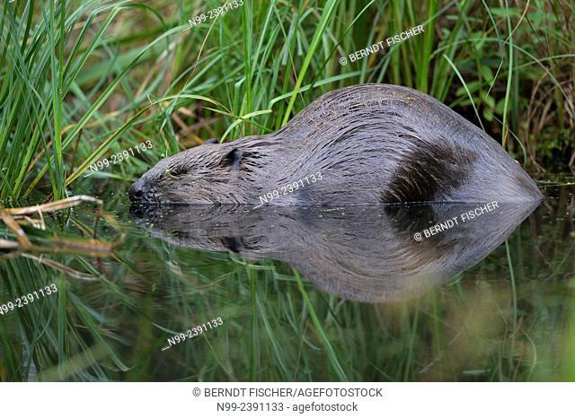 Beaver (Castor fiber), resting on a river bank, Bavaria, Germany