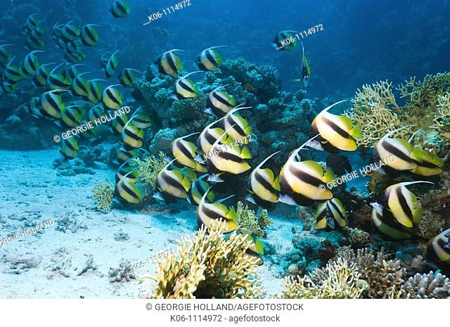 Red Sea bannerfish Heniochus intermedius school over coral reef  Egypt, Red Sea