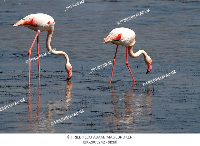 Greater Flamingo (Phoenicopterus roseus), foraging in shallow water, Camargue, France, Europe