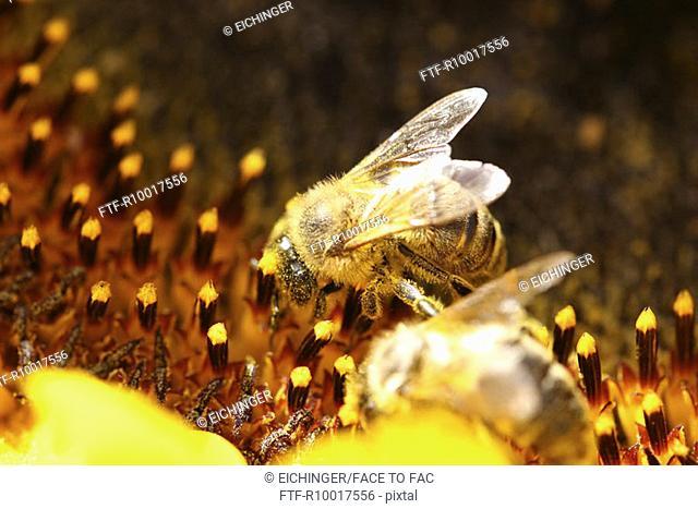 Honey bee on sunflower, close-up