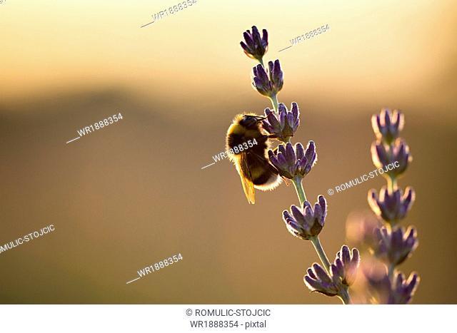 Bumblebee in Lavender Field, Island Hvar, Croatia, Europe