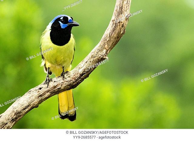 Green Jay (Cyanocorax yncas) - Camp Lula Sams, Brownsville, Texas USA