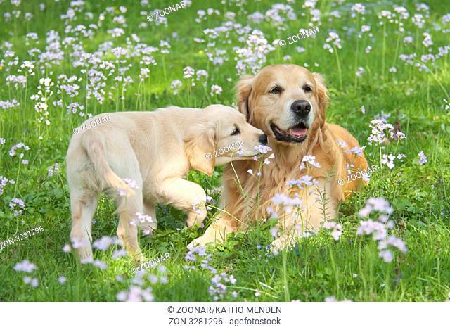 Zwei Golden Retriever, jung und alt nebeneinander auf einer Fruehlingswiese, two Golden Retriever, young and old, side by side in a meadow of Cuckoo Flower