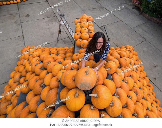 Local farmer Susanne Schumacher stacks pumpkins into a 3.5 metre Lampertheim, Germany, 5 September 2017. Around 500 squashes were used to construct the...
