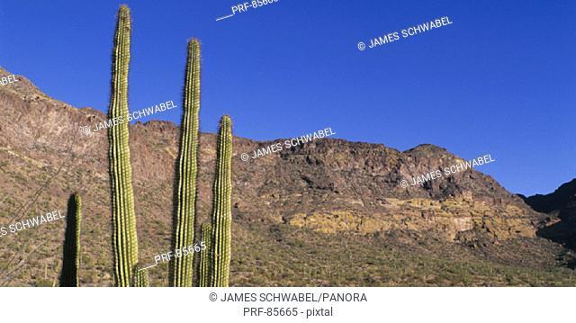 Organ Pipe Cactus AZ