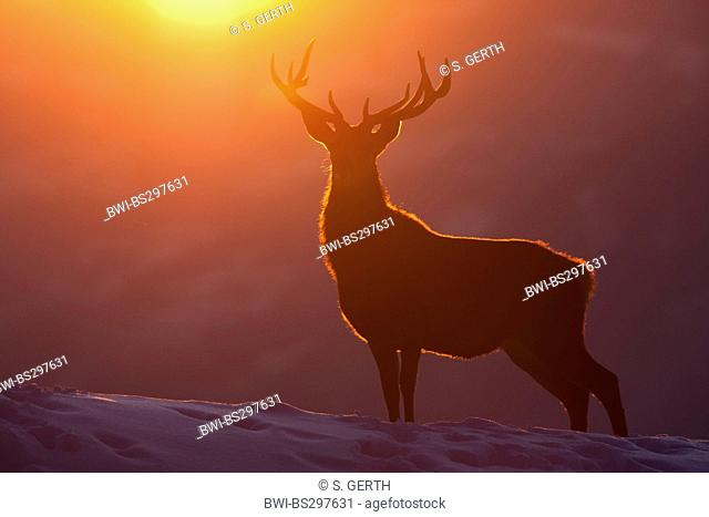 red deer (Cervus elaphus), silhouette of a bull in front of winterly sunset, Austria, Vorarlberg