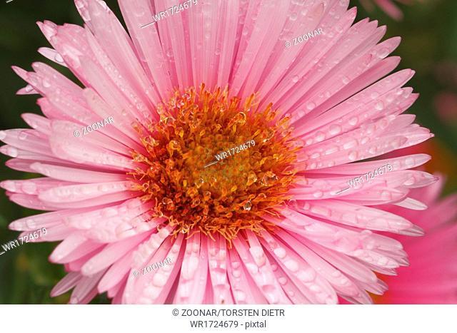 Blooming Asters