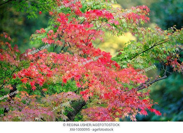 Japanese Maple Acer plamatum, tree showing autumn colour, Germany